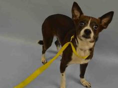ROCKY – A1043109 MALE, BROWN / WHITE, CAIRN TERRIER MIX, 5 yrs safe
