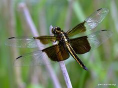 This common dragonfly is dark brown with distinctive dark bands across ...