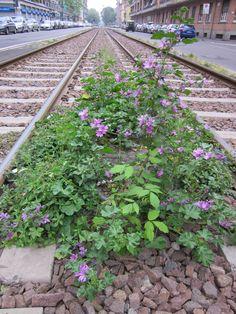 Milan, zone 7: malvas growing on the trolley line.