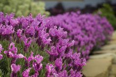 Vente en ligne de lavande Papillon THE PRINCESS ® Lavender - vivaces Meilland Richardier Lavender Uses, Lavender Flowers, Love Flowers, Lavender Varieties, Spanish Lavender, Border Plants, Plant Guide, Lavandula, Pink Blossom