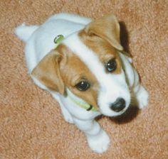 Jack Russell Terrier Cute Puppies, Cute Dogs, Dogs And Puppies, Terrier Dogs, Terriers, Jack Russell Puppies, Parson Russell Terrier, Jack Russells, Warm Fuzzies