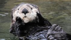 This morning, a seven-month-old sea otter warmed the hearts of onlookers as she splished and splashed in her new habitat at the Vancouver Aquarium. The young pup, who has yet to be named, was spott… Vancouver Aquarium, Panda Bear, Polar Bear, Visit Vancouver, Vancouver Island, Otter Pup, Baby Animals, Cute Animals, Animal Makeup