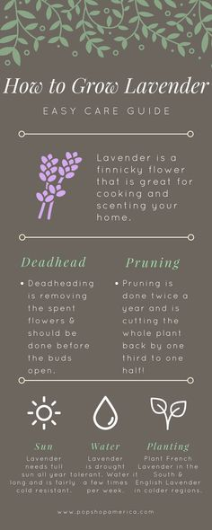 Lavender Care, Lavender Fields, Types Of Herbs, Types Of Lavender Plants, Indoor Lavender Plant, Planting Lavender, Container Gardening Vegetables, Container Plants, Home Vegetable Garden