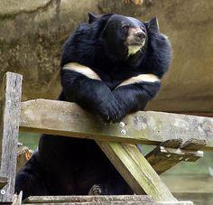 The Life of Animals: Asiatic black bears That Old Black Magic, Bear Species, Spectacled Bear, Moon Bear, Sloth Bear, Black Bear, Predator, Beauty And The Beast, Animal Kingdom