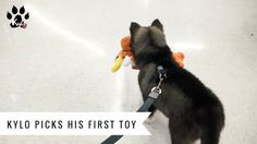 Kylo picks out a toy for the first time (Husky in Ohio)