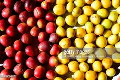 View top-quality stock photos of Peru Cuzco Province Convencion Valley Coffee Road Huacayupana Yellow And Red Bourbon Coffee Beans. Find premium, high-resolution stock photography at Getty Images. Bulk Nuts, Coffee Beans, Bourbon, Peru, Stock Photos, Yellow, Bourbon Whiskey, Turkey