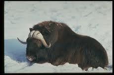 El bisonte- es uno de los animales más encontrados en la tundra.