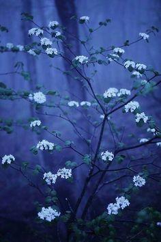 bluepueblo: Blue Spring, Japan photo via besttravelphotos Blue Flowers, Wild Flowers, Beautiful Flowers, Flowers Nature, Image Bleu, Midnight Garden, Midnight Blue, Dark Paradise, Blue Springs