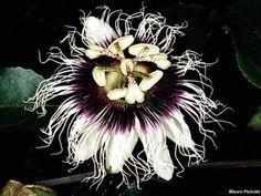 Passiflora edulis 'Black Beauty'