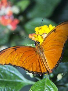 Schmetterling • Butterfly • Insel Mainau Schmetterlingshaus • Bodensee • Lake Constance