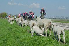 #holland #spring #biking #westfriedland #hoorn #fietsen #schaap #ijsselmeer #hoorn #ebike