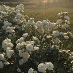 Nature Aesthetic, Flower Aesthetic, Aesthetic Photo, Aesthetic Pictures, Pretty Flowers, White Flowers, Photography Beach, Different Aesthetics, Flower Images