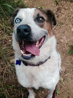 Meet Mojo, a Petfinder adoptable Australian Shepherd Dog | Wimberley, TX | Mojo is a Queens Land Australian Shepherd and Heeler mix. He has one blue eye, one brown. Mojo is a...