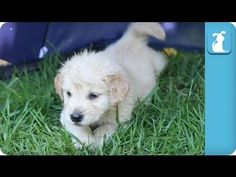 11 Golden Retriever Puppies In the Rain - Puppy Love