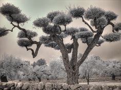 Photograph - Infrared Spanish Olive Tree Bonsai by Jane Linders , Tree Tattoo Back, Tree Tattoo Men, Infrared Photography, Tree Photography, Landscape Photography, Olive Tree Bonsai, Best Christmas Tree Decorations, Small Palm Trees, Spanish Olives