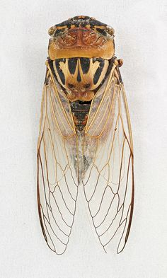Cicada (Thopha saccata) by Chris_Moody
