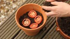 TOMATEN PFLANZEN: Etwas Erde kommt in einen Topf, die Tomatenscheiben oben drauf und dann mit noch etwas Erde bedecken.