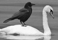 白鳥とカラス (345x237)