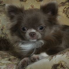 Such a cute chihuahua Long Haired Chihuahua, Cute Chihuahua, Chihuahua Puppies, Cute Puppies, Cute Dogs, Dogs And Puppies, Doggies, Cute Animal Pictures, Cute Baby Animals