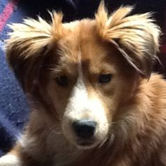 Carly is an adoptable Shetland Sheepdog Sheltie Dog in Potomac, MD. Online application here This beautiful little girl is Carly, a Sheltie/Retriever mix born in the spring of 2012. Carly doesn't under...
