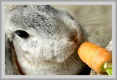 Enjoying Rabbits as Pets...We have created this article about rabbits to help you with the decision whether to have one as a pet. This article has been written with lots of research but mainly from hands-on experience as a bunny owner.