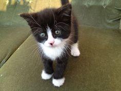 Black And White Kittensplayful Fluffy Black White Kitten For Sale ...