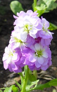 Annual Flower Pictures And Names | Stock flowers, Metthiola incana | Garden Blog | providencejournal.com ...