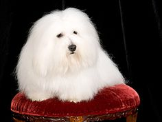 """Coton de Tulear Breeders Do Not Cotton to the American Kennel Club - The loveable little Coton de Tulear finds itself at the center of a lawsuit launched by breeders against the American Kennel Club (AKC) and the United States of America Coton de Tulear Club (USACTC). - Those opposed to AKC status are not opposed to showing Cotons. They just don't want to alter the dog's natural look. This """"looker"""" is Salty Dawg of TARA, owned by Carol Hughes. (Photo by Carol Hughes)"""