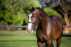 Larrison's half brother is licensed stallion Askido (by Askari). His half sister Easy Going (by Lasino) is jumping in 1.60m classes. His dam line produced following licensed stallions: Landaris (by Landgraf I) and Calidrio (by Calido I).
