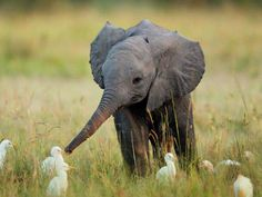 Baby elefant with birds
