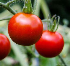 7 Soil Tips for Better Tomatoes - Photo courtesy Ben McLeod/Flickr (HobbyFarms.com)