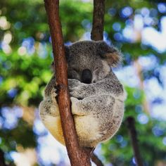 "@jubobu: ""I'm an animal in bed. Specially a koala - I can sleep for 23 hrs"".  Sounds like #medschoolproblems. Time to catch up on sleep this weekend!  #travel #wanderlust #australia #wildlife #koala #currumbin #currumbinwildlifesanctuary #queensland #qld #aroundtheworld #instatravel #wander #travelbug #goldcoast #thisisqueensland #discoverqueesland by tri.ashlete http://ift.tt/1X9mXhV"
