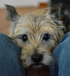 cairn terrier -- one of the best pleasurable distractions a girl could have... A wonderful puppy or dog