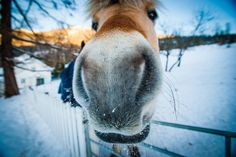 Fjord Horse being funny Fjord Horse, Cute Ponies, Image Of The Day, Norway, Equestrian, Cute Animals, Creatures, Things To Come, Stock Photos