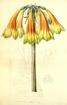 cyrtanthus obilquus      ...