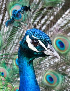 Peacock Images, Peacock Pictures, Peacock Wall Art, Peacock Painting, Most Beautiful Animals, Beautiful Birds, Pfau Tattoo, Funny Parrots, Tropical Animals