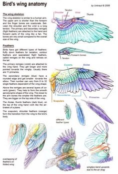 All information about Bird Wing Anatomy Feathers. Pictures of Bird Wing Anatomy Feathers and many more. Anatomy Reference, Drawing Reference, Wing Anatomy, Anatomy Art, Animal Drawings, Art Drawings, Funny Bird, Wings Drawing, Colorful Birds