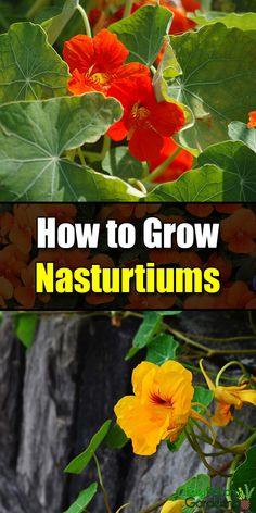 How to Grow Nasturtiums - Easy Balcony Gardening