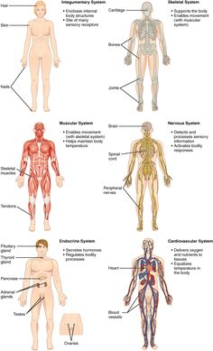 This illustration shows eight silhouettes of a human female, each showing the components of a different organ system