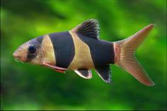 todas las especies de peces de agua dulce