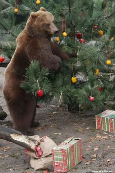 The first weekend of December will find many of us trimming the Christmas tree with colorful ornaments. Including the residents of the Hagenbeck Zoo in Hamburg, Germany. Christmas Animals, Christmas Cats, Country Christmas, Mundo Animal, My Animal, Animals And Pets, Cute Animals, Photo Animaliere, Love Bear