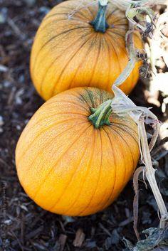 Pumpkins by Sara Remington | Stocksy United