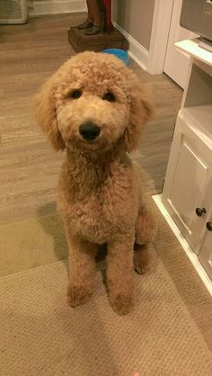 #Goldendoodles, #Doodles, #Labradoodles, #puppies, #adorable, #cute, #family, #love, #fashion, #summer, #winter, #fall, #pumpkin, #coffee, #golden retriever, #curly, #hair, #labrador retriever, #frenchie, #french bulldog, #poodle, #maltipoo, #maltese, #fluffy, #dogs, #wedding, #diy, #crafts, #games, #romance, #valentines day, #christmas, #thanksgiving, #new years, #halloween,