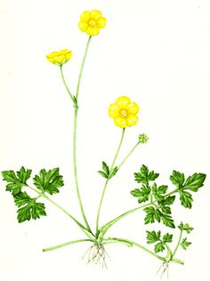 Lizzie harper botanical illustration of a buttercup