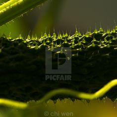 cucumber peel