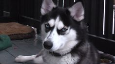 Husky femelle a vendre   chiens, chiots à adopter   Laval / Rive-Nord   Kijiji