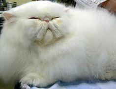 Persian cat. Looks like my Gaara, just chubbier. Love their flat faces!