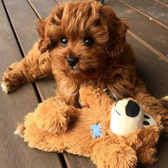 Everything we enjoy about the Playfull Cavalier King Charles Spaniel Puppies Cute Baby Dogs, Cute Dogs And Puppies, Cute Baby Animals, Doggies, Wild Animals, Funny Puppies, Funny Dogs, Cavapoo Puppies, Puppies Puppies
