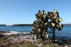 Galapagos buy Rosa Cera