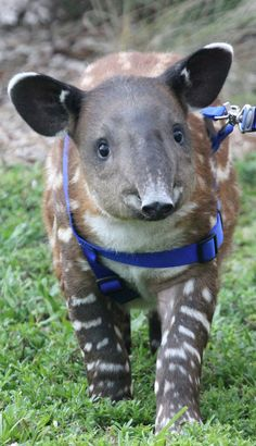 Palm Beach Zoo's Timmy the Tapir on way to LA to help save the ...